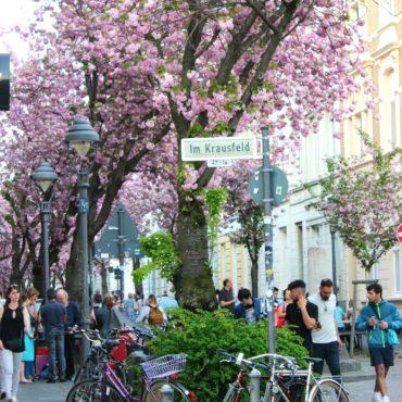 Ανθισμένες Κερασιές στο Altstadt Βόννης